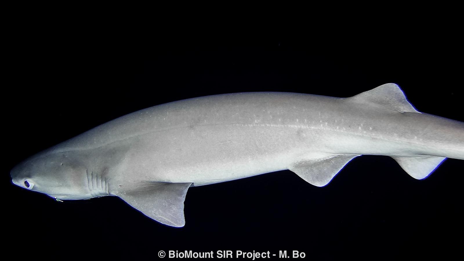The bluntnose sixgill shark Hexanchus griseus.